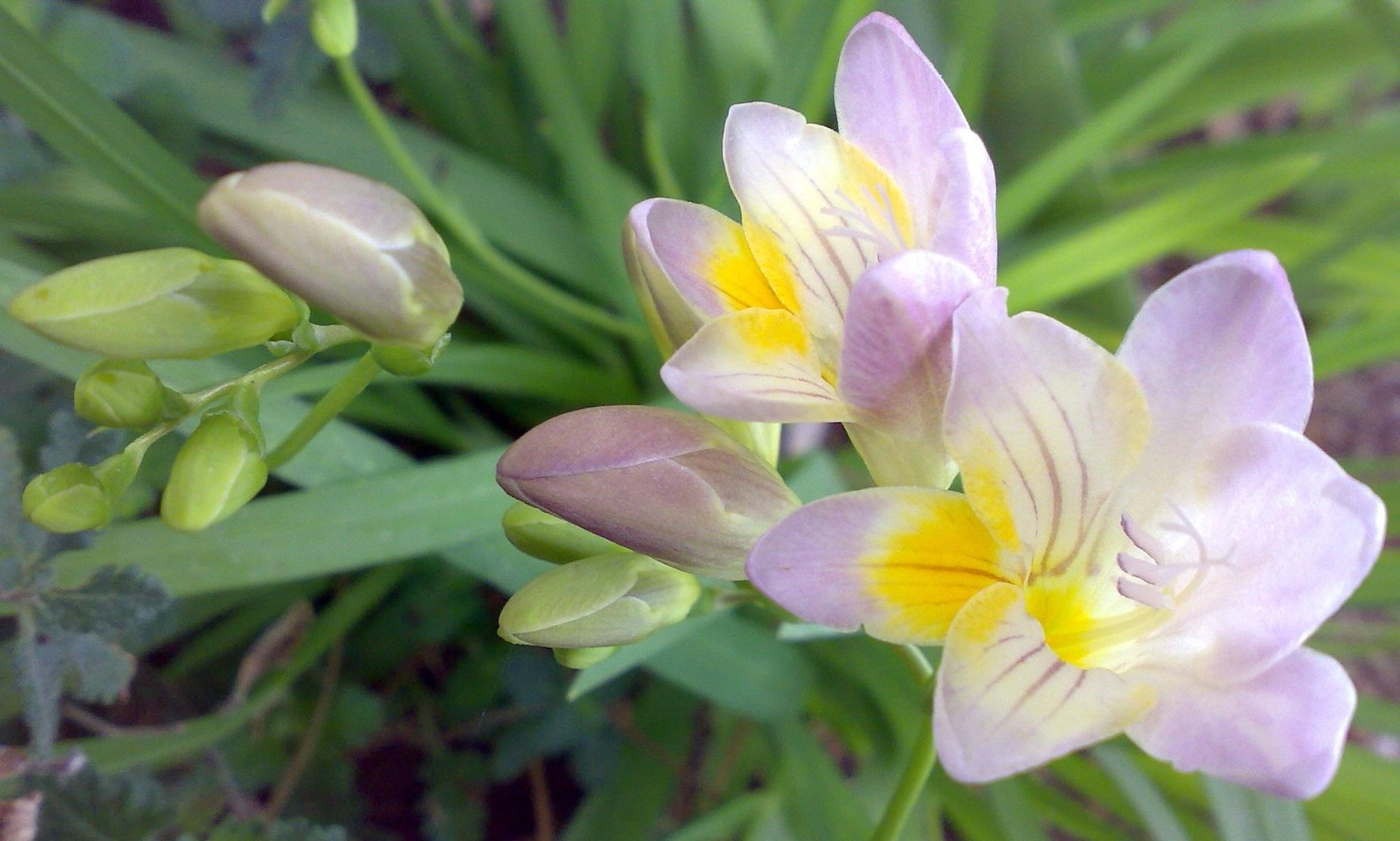frezya çiçeği