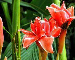 Starliçe Çiçeği (Cennet kuşu) Bakımı, Anlamı ve Renkleri
