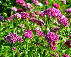 Hüsnü Yusuf çiçeği bakımı, Ne anlama gelir kime verilir