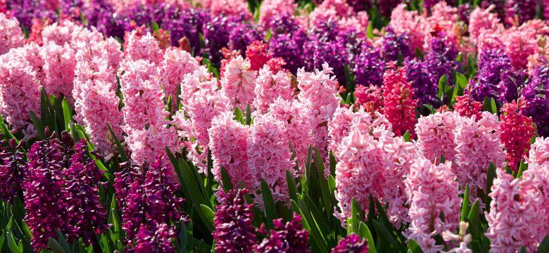 Sümbül çiçeği bakımı nasıl yapılır? Sümbül çiçeği anlamı nedir?