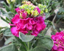 Şebboy çiçeği faydaları ve Hediye edildiğinde anlamı