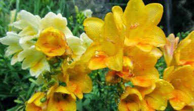 sarı frezya çiçeği