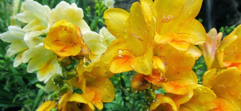 Frezya çiçeği bakımı, anlamı  ve Daha fazlası