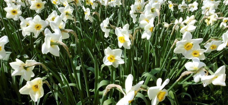 Harika Kokusu ile Nergis çiçeği Hakkında Bilgiler