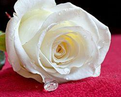 Beyaz Gül Anlamı : Beyaz gül hediye edilince ne anlama gelir