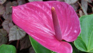 Antoryum çiçeği Bakımı ve harika ipuçları