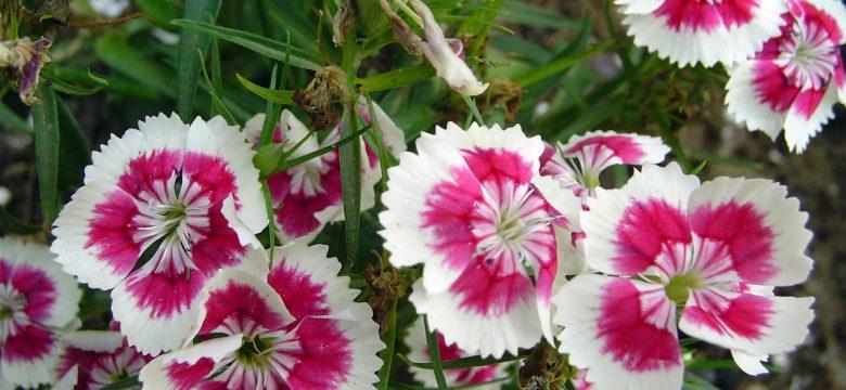 Karanfil çiçeği bakımı ve anlamı hakkında