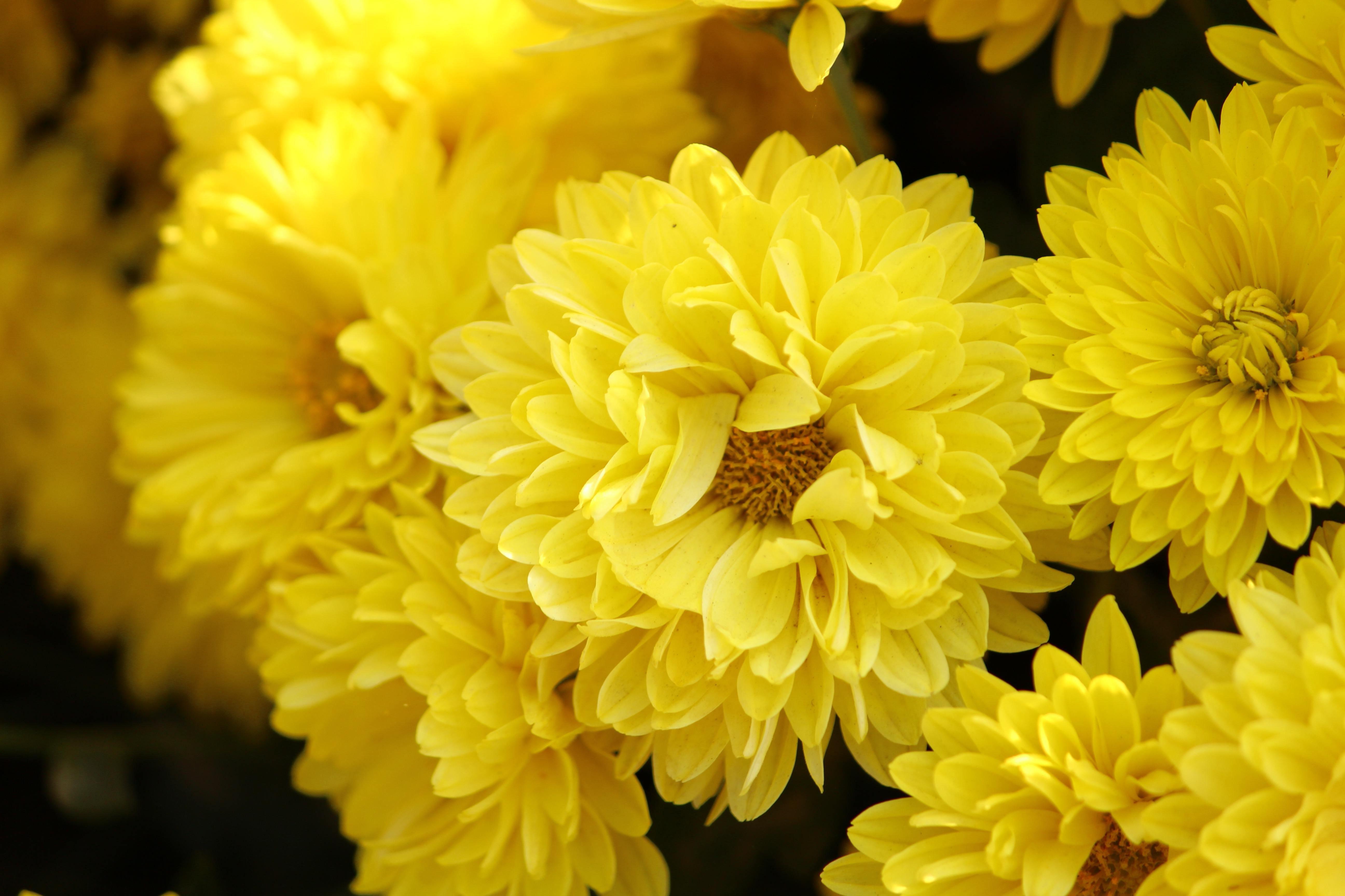 sarı kasımpatı çiçeği