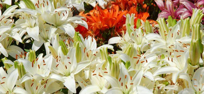 Lilyum Çiçeği ( Zambak) anlamı ve Sembolizm!