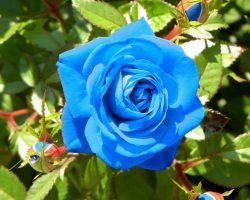 Nadide bir çiçek Mavi gül anlamı nedir?