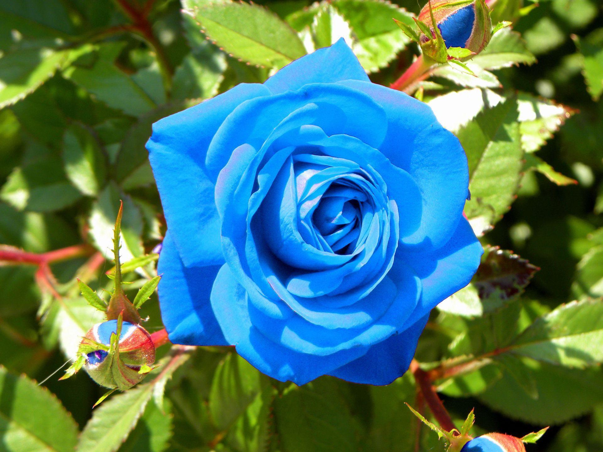 Mavi gül anlamı nedir