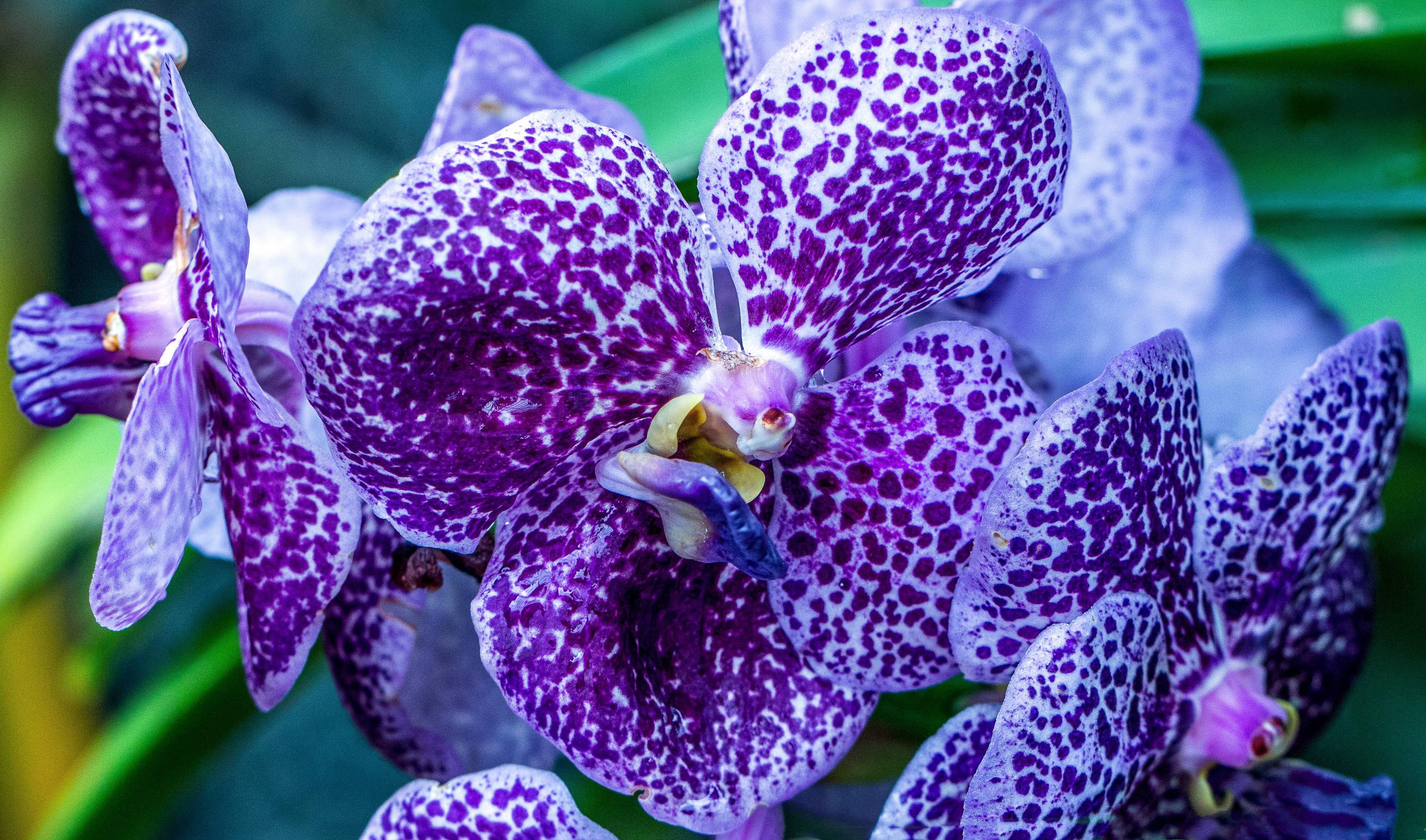 mor orkide çiçeği