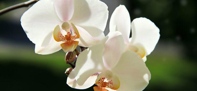 Beyaz Orkide Çiçeği Ne Anlama Geliyor?