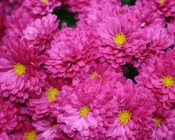 Kasımpatı (Krizantem) çiçeği anlamı ve bilinmesi gerekenler