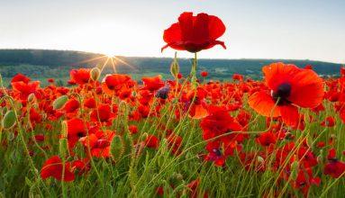 Gelincik çiçeği anlamı, bakımı ve faydası