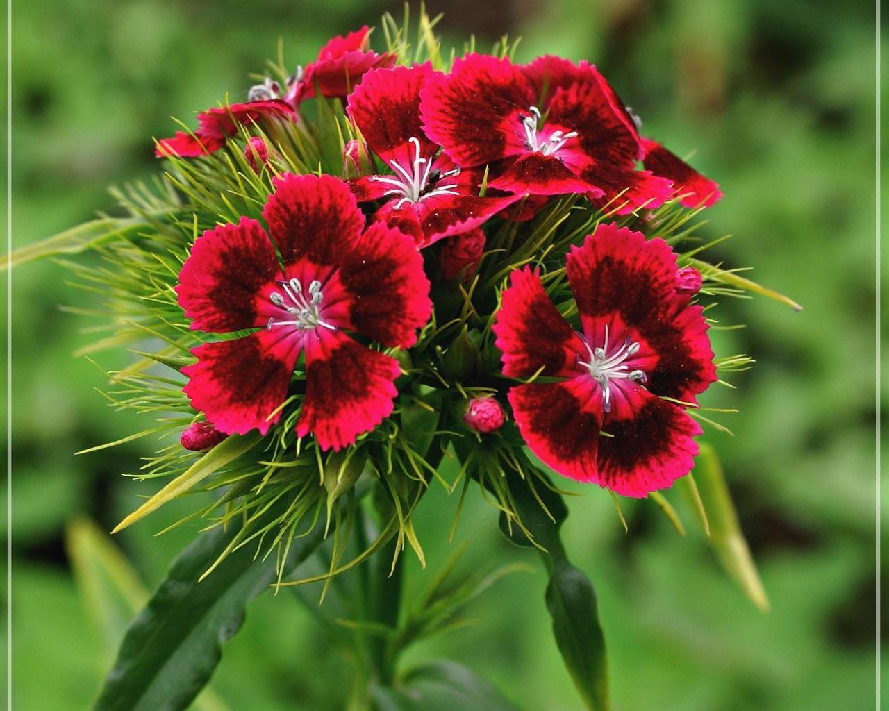 Harika karanfil çiçeği