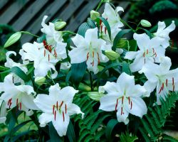 Efsanevi Özellikleriyle ve Anlamlarıyla Kazablanka çiçeği