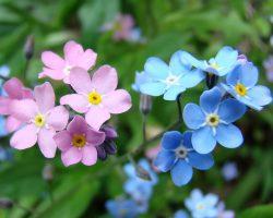 Unutma Beni Çiçeği Anlamı Efsanevi Hikayesi