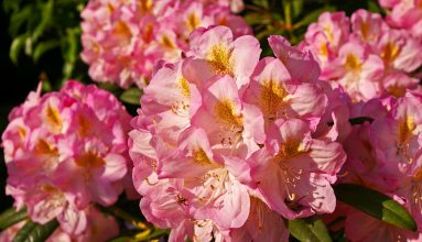 açelya çiçeği