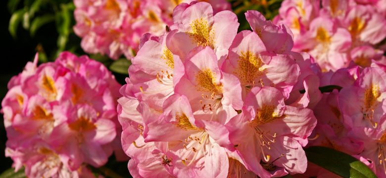 Rengarenk Açelya Çiçeği Anlamı ve Bakımı